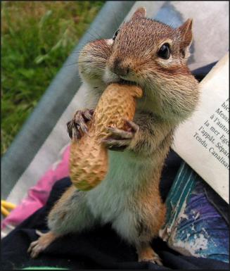 Chipmunk Eating Peanut